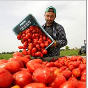 "Gatti goes undercover to experience the ""triangle of slavery,"" his description of the tomato-picking business in Puglia."